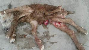 8 bacaklı doğan oğlak görenleri hayrete düşürdü