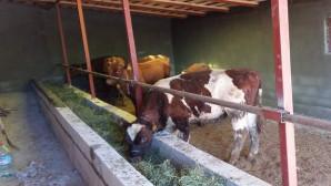 Genç çiftçilere 162 büyükbaş hayvan dağıtıldı