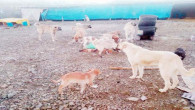 Hayvansever vatandaş sokak köpeklerine kendi yaptığı barınakta bakıyor