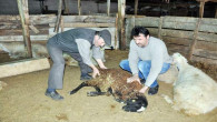 Yozgat'ta şüpheli koyun ölümleri besicileri korkuttu