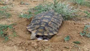 Kaplumbağalar doğaya yumurta bırakmaya başladı
