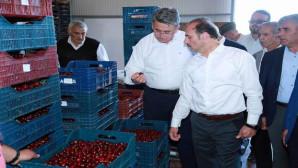 Türkiye'nin en büyük kiraz bahçesinde hasat başladı