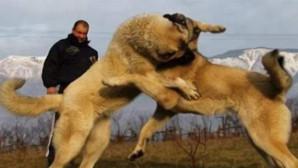 Köpek dövüşü için 7 ilden gelen 32 kişiye işlem yapıldı