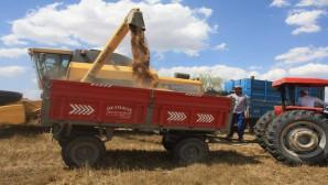 Toprak işlemsiz ekimi yapılan buğdayın hasadı yapıldı