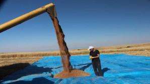 Deneme amaçlı ekilen Buğdayın hasadı yapıldı