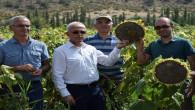 Deneme amaçlı ekilen yerli Hibrit çerezlik çekirdeğin hasadı yapıldı