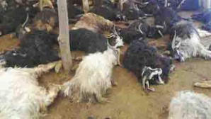 Yozgat'ta 312 koyun ve keçi telef oldu