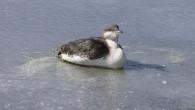 Buz tutan gölde donmak üzere olan dalgıç kuşunu itfaiye ekipleri kurtardı