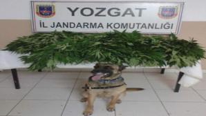 Jandarma 87 kök kenevir ele geçirdi