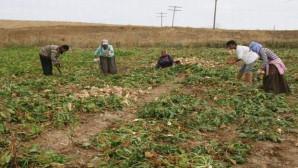 Yerköy'de 5 Bin dekar alanda pancar hasadı yapılacak