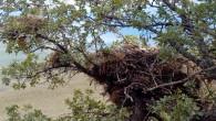Aynı ağaç dalında kartal ve kuş yavruları komşuluk yapıyor