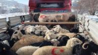 Mehmetçiklere 91 koyun ve 1 Boğa gönderildi