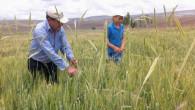 Çiftçiler buğday tarlasında çavdar temizliği yapıyor