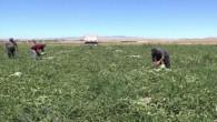 Yozgat'ta karpuz hasadı başladı