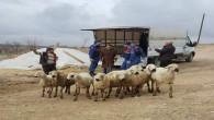 Koyunları çalan hırsızlar tutuklandı